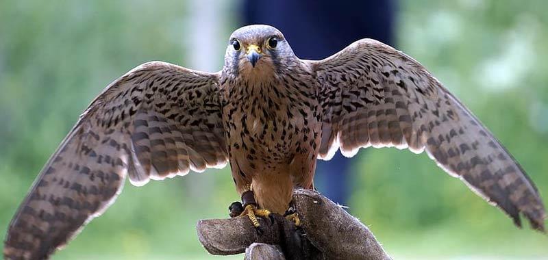 Cose la falconeria